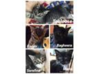 Adopt 5 little kittens Males & Females a Domestic Short Hair