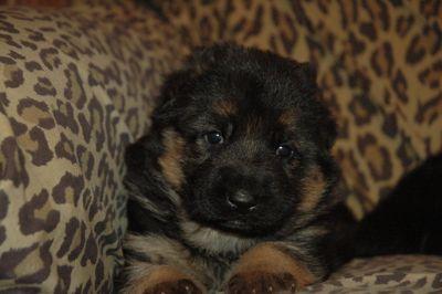 German Shepherd Dog PUPPY FOR SALE ADN-86122 - Black and Red German Shepherd Puppies For Sale