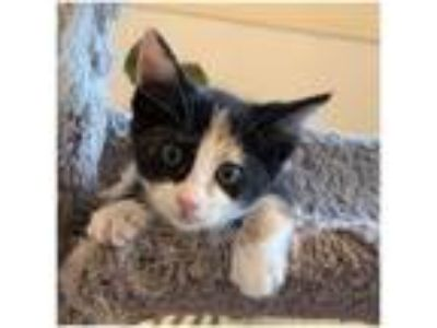 Adopt Poppy a Domestic Short Hair, Calico