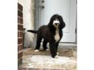 Adopt Scooter a Black - with White Old English Sheepdog / Poodle (Standard) dog