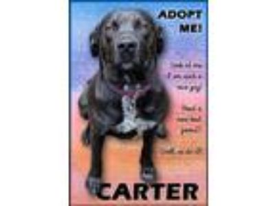 Adopt Carter a Labrador Retriever