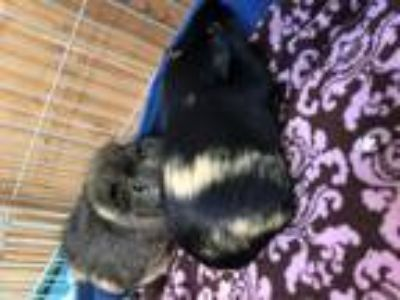 Adopt Phyllis, Penelope, and Bugs a Guinea Pig