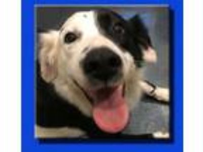 Adopt Walter a Border Collie