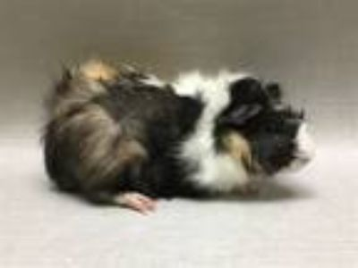 Adopt Hippogriff a Guinea Pig