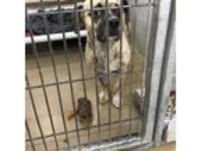Adopt Nugget a Black Pug dog in Knoxville, TN (25597261)