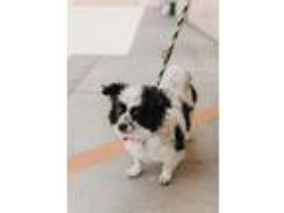 Adopt Winnie - Costa Mesa a Black - with White Pomeranian / Papillon / Mixed dog