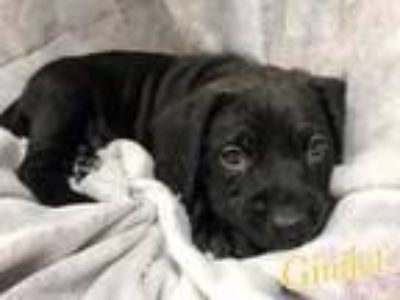 Adopt Gimlet a Poodle, Staffordshire Bull Terrier