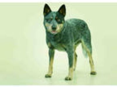 Adopt STAN a Merle Australian Cattle Dog / Mixed dog in Vero Beach