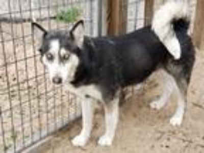 Adopt Lucy a Gray/Silver/Salt & Pepper - with Black Husky / Mixed dog in
