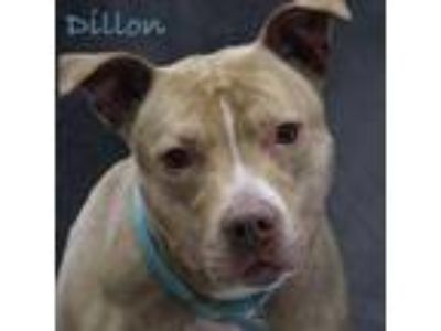 Adopt Dillon a American Staffordshire Terrier