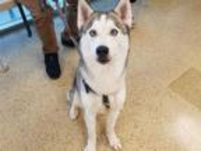 Adopt LOKI a Gray/Silver/Salt & Pepper - with White Husky / Mixed dog in St.