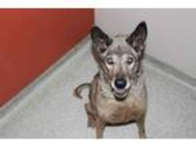 Adopt *SEAN CONNERY a Brown/Chocolate - with Black German Shepherd Dog / Mixed