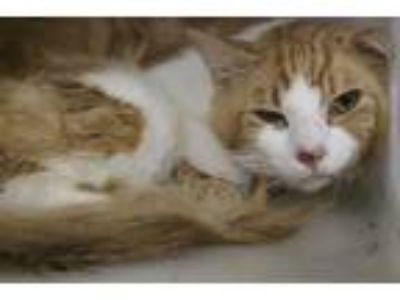 Adopt UNKNOWN a Orange or Red (Mostly) Domestic Shorthair / Mixed (short coat)