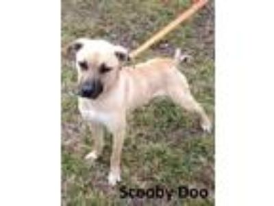 Adopt Scooby Doo a Tan/Yellow/Fawn - with Black Shepherd (Unknown Type) / Mixed