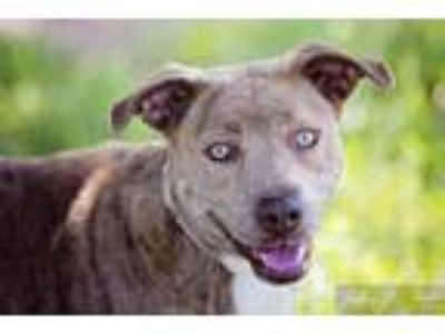 Adopt DOG IN DANGER Princess 6418 a Labrador Retriever, Pit Bull Terrier