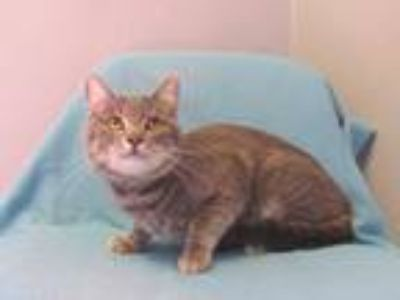 Adopt ASHFORD a Gray, Blue or Silver Tabby Domestic Shorthair / Mixed (short