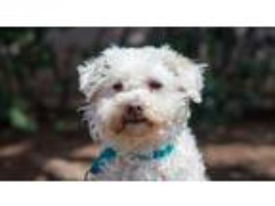 Adopt April a Poodle (Standard) / Mixed dog in San Diego, CA (25365353)