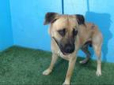 Adopt POKY a German Shepherd Dog, Mixed Breed