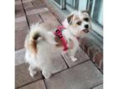 Adopt Trixie a Shih Tzu / Mixed dog in Indianapolis, IN (25157685)
