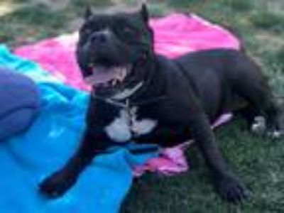 Adopt Lucy!! a Black - with White American Pit Bull Terrier / Mixed dog in