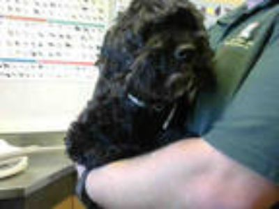 Adopt PIPPA a Black Poodle (Miniature) / Cocker Spaniel / Mixed dog in