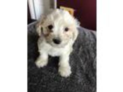 Adopt Whats one more special needs? a White Bichon Frise / Schnauzer (Miniature)