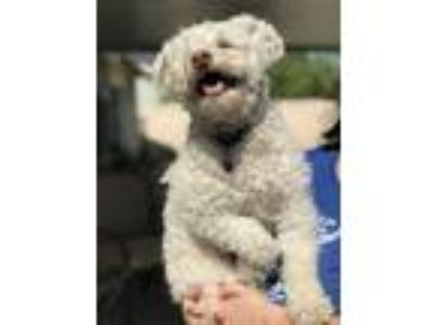 Adopt Luke a Poodle, Terrier