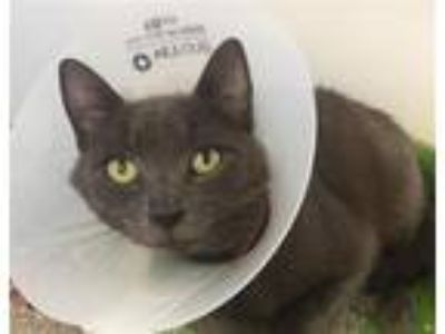 Adopt Blue a Russian Blue / Mixed cat in San Diego, CA (25831361)