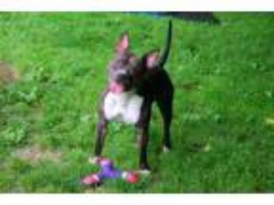 Adopt MEATHEAD MIKE a Staffordshire Bull Terrier