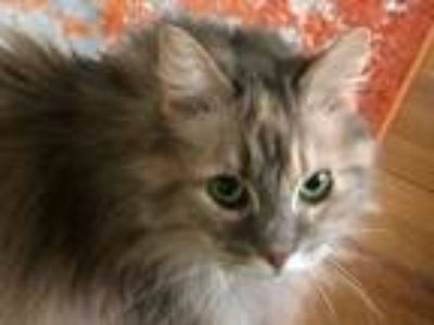 Adopt Zoe a Gray or Blue Domestic Longhair cat in Minneapolis, MN (25130056)