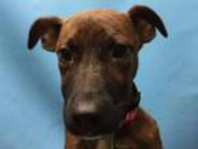 Adopt Lucy a Hound, Mixed Breed