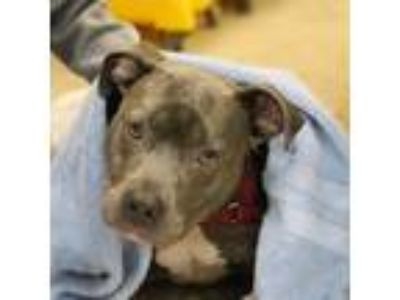 Adopt Trudy a Gray/Blue/Silver/Salt & Pepper Mixed Breed (Medium) / Mixed dog in