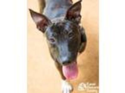 Adopt Mikasa a Black Hound (Unknown Type) / Terrier (Unknown Type