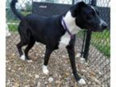 Adopt Mina a Black Labrador Retriever / Border Collie / Mixed dog in Oskaloosa