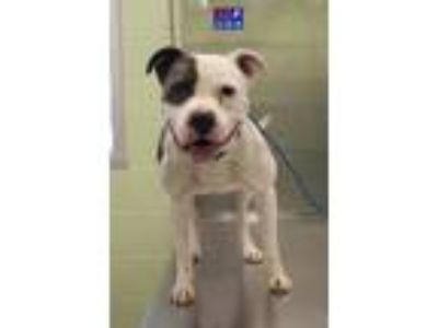 Adopt Ego a Pit Bull Terrier, Mixed Breed