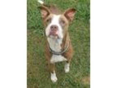 Adopt Shelby a Brown/Chocolate - with White Boxer / Pit Bull Terrier / Mixed dog