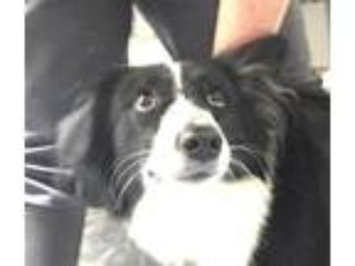 Adopt 19-06-1765 Dempsey a Border Collie