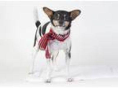 Adopt SMITH a Rat Terrier
