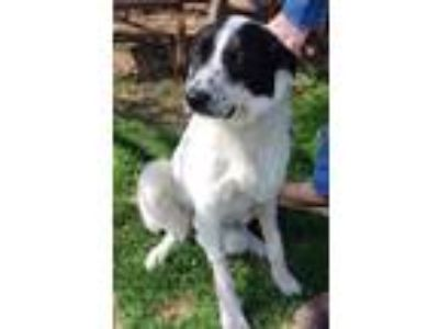 Adopt Murray a Great Pyrenees, Border Collie