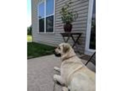 Adopt Hailey a White Great Pyrenees / Mixed dog in Aurora, IL (25642523)