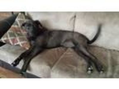 Adopt Zeppelin a Black Labrador Retriever / American Pit Bull Terrier dog in