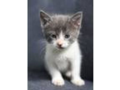 Adopt Baby Harry a White (Mostly) Domestic Shorthair (short coat) cat in Newbury