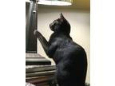 Adopt Bonnie a All Black Domestic Shorthair cat in Land O Lakes, FL (24794642)