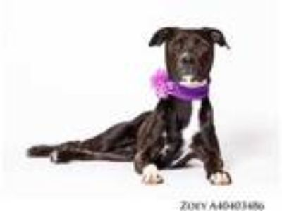 Adopt Zoey a Black American Pit Bull Terrier / Mixed dog in Reno, NV (25069261)