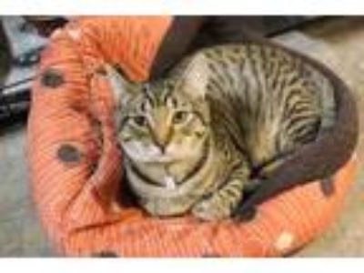 Adopt Flannery a Domestic Short Hair, Bengal
