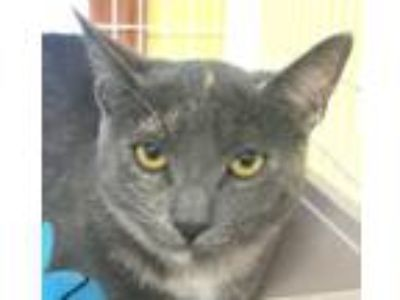 Adopt Nickie a Domestic Short Hair