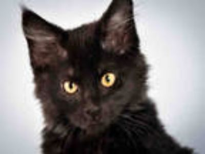 Adopt MOURICE a All Black Domestic Longhair / Mixed (long coat) cat in Loveland