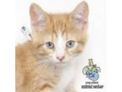 Adopt Butter a White Domestic Shorthair cat in Knoxville, TN (25581668)