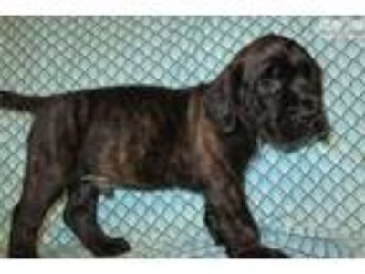 AKC registered male English Mastiff puppy-Nitro
