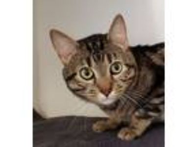 Adopt Jasper a Brown Tabby Domestic Shorthair (short coat) cat in Red Bluff